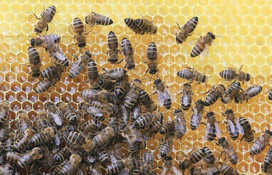 วิธีป้องกันสัตว์ร้ายและแมลงรบกวน - แมลงมีพิษ ผึ้ง